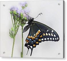 Black Swallowtail II Acrylic Print by David and Carol Kelly