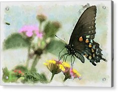 Black Swallowtail Acrylic Print by Lorri Crossno