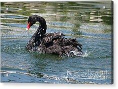 Black Swan 20120706_121a Acrylic Print