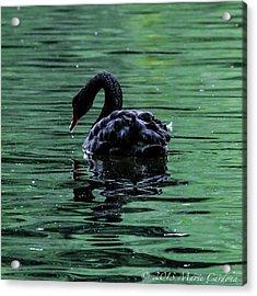 Black Swan I Acrylic Print by Marie  Cardona
