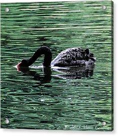 Black Swan II Acrylic Print by Marie  Cardona