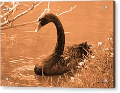 Acrylic Print featuring the photograph Black Swan by Leticia Latocki