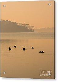 Black Swan Sunrise Acrylic Print by Mike  Dawson