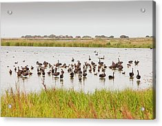 Black Swans And Australian Shelduck Acrylic Print by Ashley Cooper