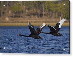 Black Swans In Flight Acrylic Print by Mr Bennett Kent