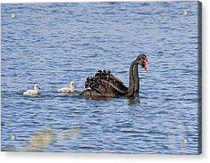 Black Swans Acrylic Print by Steven Ralser
