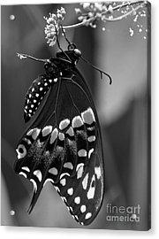 Black Swollowtail  Acrylic Print