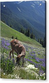 Black-tailed Deer And Lupines Acrylic Print by Mark Alder