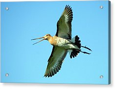 Black-tailed Godwit In Flight Acrylic Print by Bildagentur-online/mcphoto-rolfes