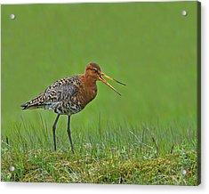 Black-tailed Godwit Acrylic Print by Tony Beck