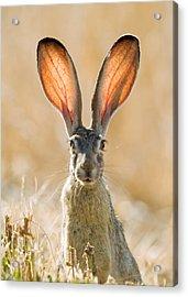 Black-tailed Hare Davis California Acrylic Print by Doug Herr