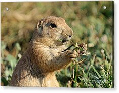 Black-tailed Prairie Dog Acrylic Print