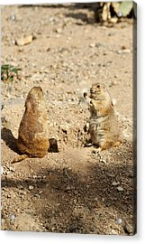 Acrylic Print featuring the glass art Black Tailed Prairie Dogs by Daniel Hebard