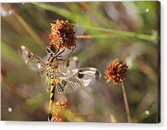 Black-tailed Skimmer Dragonfly Acrylic Print by Lorri Crossno