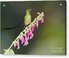 Black-tailed Train-bearer Hummingbird Acrylic Print by Dan Suzio