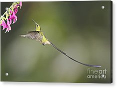 Black-tailed Trainbearer Hummingbird Acrylic Print by Dan Suzio