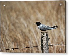 Black Tern Acrylic Print by Ryan Crouse