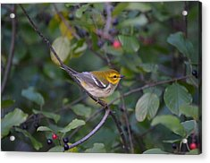 Acrylic Print featuring the photograph Black-throated Green Warbler by James Petersen