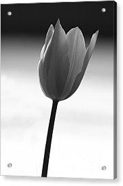 Black Tulip Acrylic Print by Carlos Magalhaes
