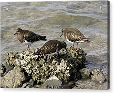 Black Turnstones Feeding Acrylic Print by Bob Gibbons