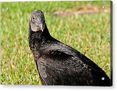 Black Vulture Acrylic Print