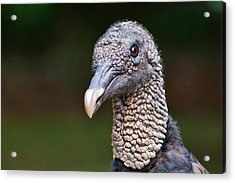Black Vulture Acrylic Print by Ludwig Keck