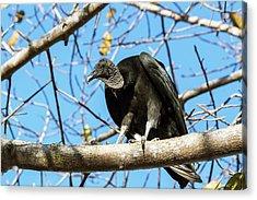 Black Vulture Acrylic Print by Paul Williams