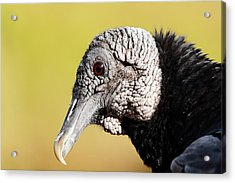 Black Vulture Portrait Acrylic Print by Katherine White