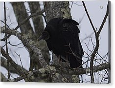 Black Vulture Acrylic Print by Randy Bodkins
