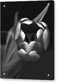 Black White Tulip Acrylic Print