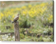 Black-winged Ground Dove Acrylic Print