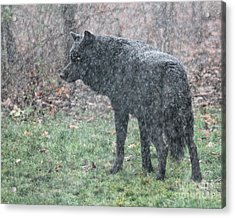 Black Wolf In Snowstorm Acrylic Print