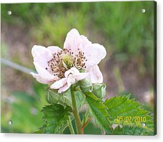 Acrylic Print featuring the photograph Blackberry Blossom by Belinda Lee