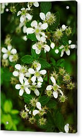 Acrylic Print featuring the photograph Blackberry Blossoms by Suzanne Powers