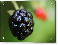 Blackberry On The Vine Acrylic Print by Michael Eingle