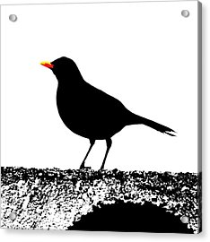 Blackbird On A Wall Acrylic Print by Bishopston Fine Art