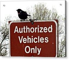 Blackbird On Patrol Acrylic Print by Lizbeth Bostrom