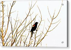 Blackbird Singing A Happy Tune Acrylic Print by Tina M Wenger