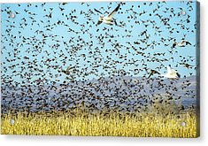 Blackbirds And Geese Acrylic Print