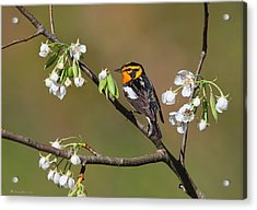 Blackburnian Warbler Acrylic Print by Daniel Behm