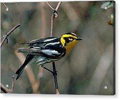 Blackburnian Warbler Acrylic Print by Doug Herr