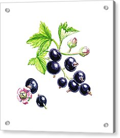 Acrylic Print featuring the painting Blackcurrant Botanical Study by Irina Sztukowski