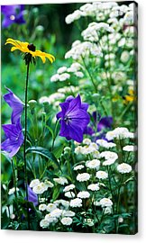 Blackeyed Susan Acrylic Print by Michael Hubley