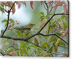 Blackpoll Warbler In The Fall Acrylic Print