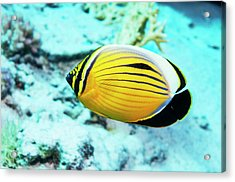 Blacktail Butterflyfish Acrylic Print by Georgette Douwma