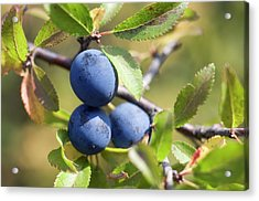Blackthorn Berries Acrylic Print by Daniel Sambraus/science Photo Library