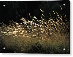 Blades Of Grass In The Sunlight Acrylic Print by Jim Holmes