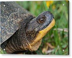 Blanding's Turtle Acrylic Print
