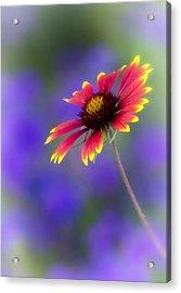 Blanket Flower  Acrylic Print by Saija  Lehtonen