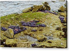 Acrylic Print featuring the photograph Blanket Of Seastars by Karen Molenaar Terrell